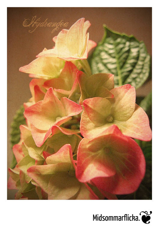 Hydrangea « Midsommarflicka | So, it was weekend. And I was bored.